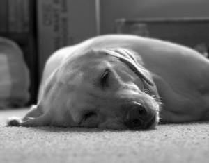 lazy-dog